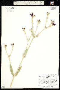 Image of Coronaria coriacea