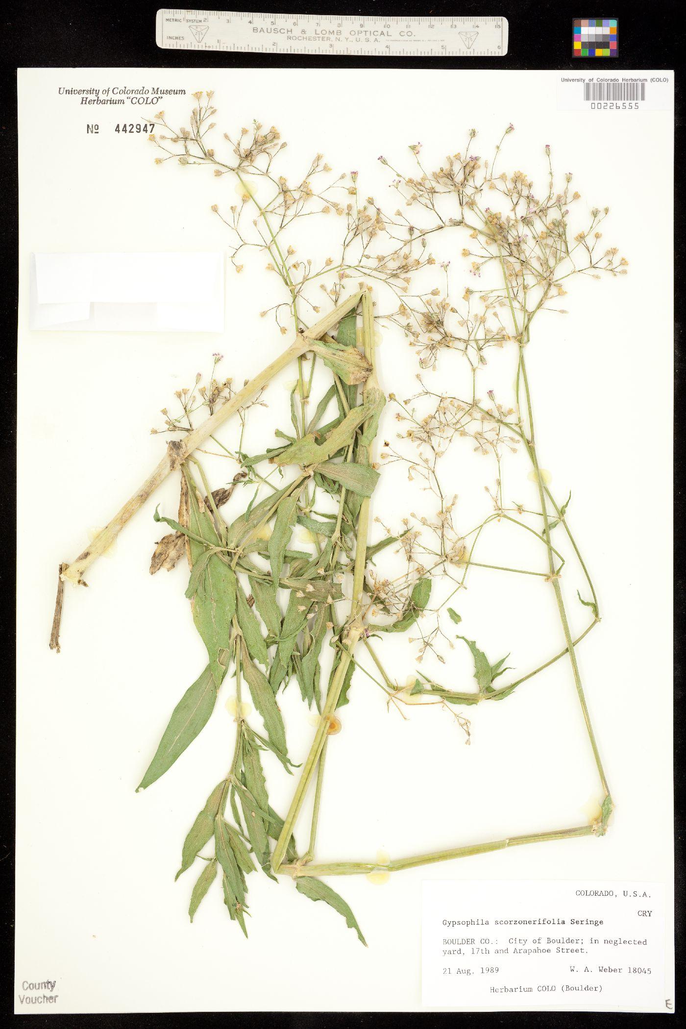 Gypsophila image