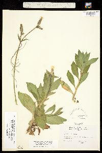 Melandrium dioicum image