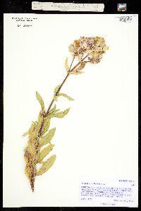 Image of Saponaria officinalis