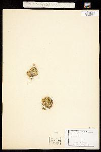 Silene acaulis image