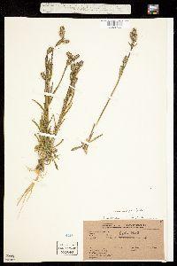 Silene scouleri image