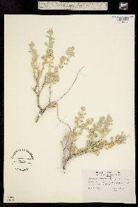 Atriplex confertifolia image
