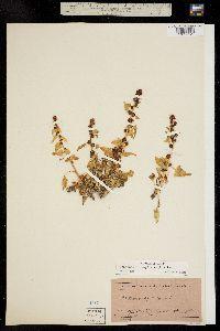 Chenopodium capitatum image