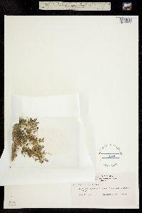 Chenopodium glaucum image