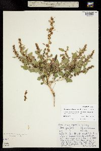 Blitum virgatum image