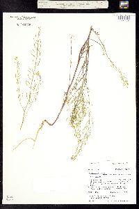 Image of Descurainia incisa