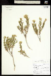 Image of Macronema discoideum