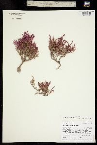 Salicornia rubra image