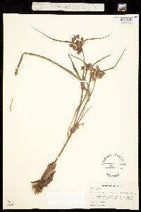 Tradescantia occidentalis var. scopulorum image