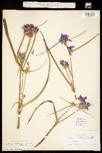 Tradescantia occidentalis var. scopulorum image