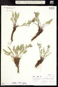 Mertensia humilis image