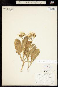 Image of Ligularia holmii