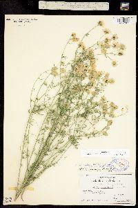 Image of Brickellia rosmarinifolia