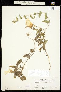 Calystegia macounii image