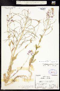 Image of Thelypodiopsis juniperorum
