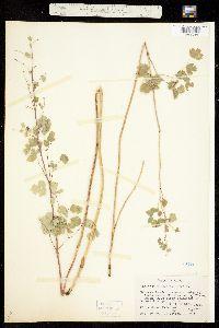 Image of Thalictrum fendleri