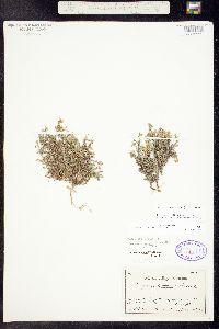 Alsinanthe macrantha image