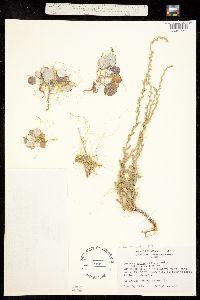 Cuscuta denticulata image