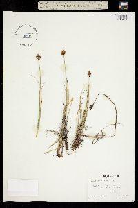 Carex arapahoensis image