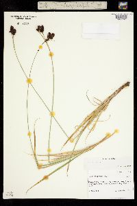 Carex atrata image