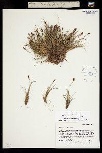 Carex crandallii image
