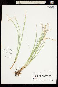 Carex geyeri image