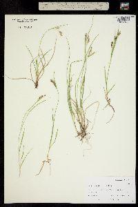 Carex hassei image
