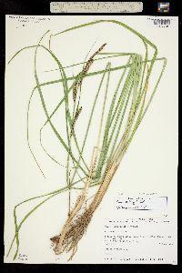 Carex kelloggii image