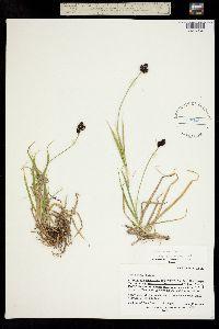 Carex nelsonii image