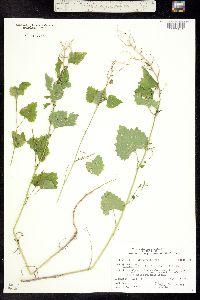 Image of Alliaria petiolata