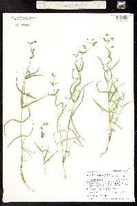 Pseudostellaria jamesiana image