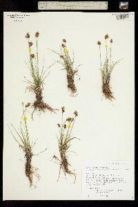 Carex simulata image