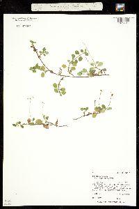 Image of Linnaea borealis