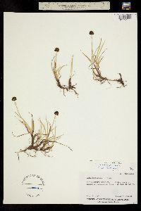 Carex vernacula image
