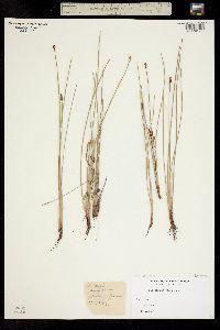 Eleocharis elliptica var. compressa image