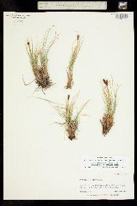 Kobresia schoenoides image