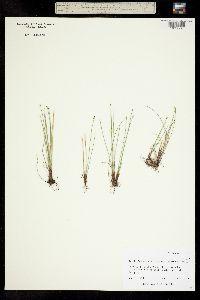 Trichophorum pumilum image