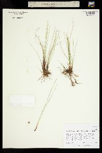 Image of Trichophorum pumilum
