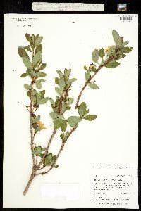 Image of Azaleastrum albiflorum