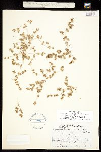 Chamaesyce fendleri image