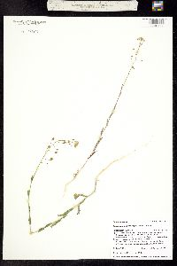 Camelina microcarpa image