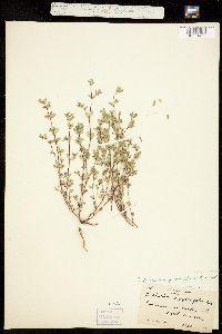 Chamaesyce serpyllifolia image