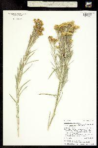 Ericameria nauseosa image