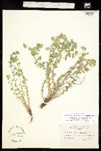 Tithymalus brachyceras image