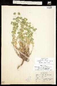 Tithymalus crenulatus image