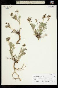 Image of Astragalus aboriginum