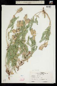 Astragalus laxmannii var. robustior image