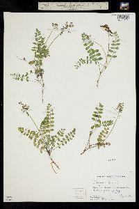 Image of Astragalus alpinus
