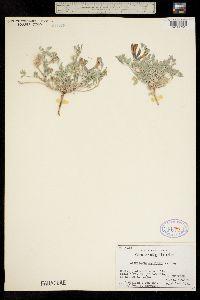 Astragalus amphioxys var. vespertinus image